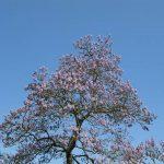 A árvore que nos ajudaria a combater o aquecimento global