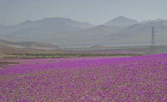 """Atacama se enche de flores durante o """"deserto florido"""""""