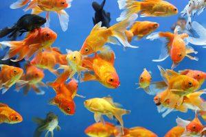 Após terremoto, peixes de estanques fogem e ameaçam fauna local