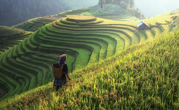 Níveis elevados de CO2 afetam valor nutritivo do arroz