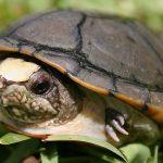 México anuncia o descobrimento de nova espécie de tartaruga