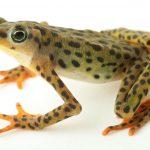 Redescobrem quatro espécies de anfíbios considerados extintos