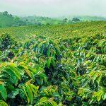 Metade dos cafés silvestres poderia desaparecer