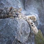 A ameaça que ronda os leopardos-das-neves