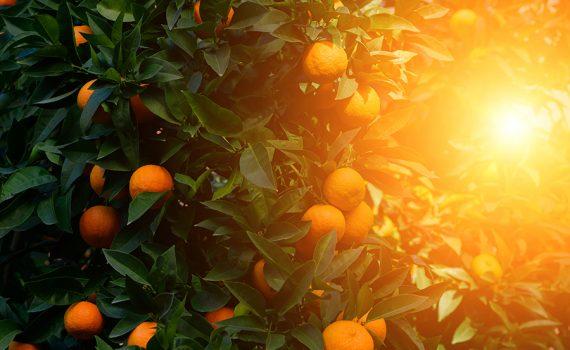 Restos de laranja revivem bosque na Costa Rica
