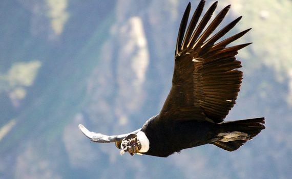O condor andino, uma espécie ameaçada de extinção