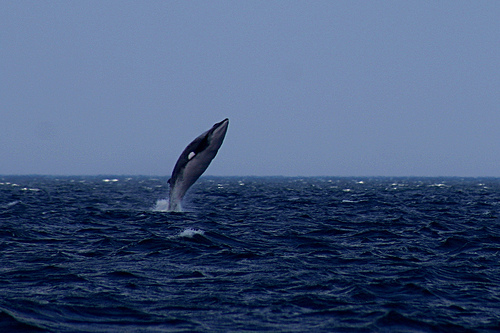 Japón decide reiniciar su programa de caza de ballenas