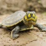 Liberarán más de 500 mil tortugas bebé en Perú