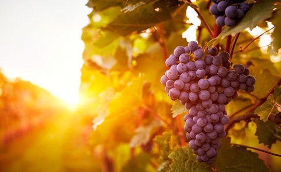 Las células renales pueden aumentar su energía gracias a compuestos de la uva
