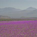 """Atacama se llena de flores durante el """"desierto florido"""""""
