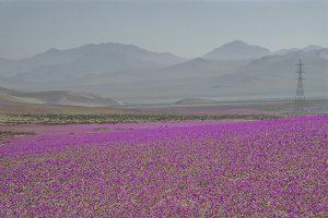 atacama-flores-desierto-florido