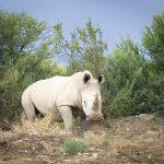 Muere último varón de los rinocerontes blancos del norte