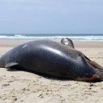 Alerta ambiental por muerte de delfines en Brasil