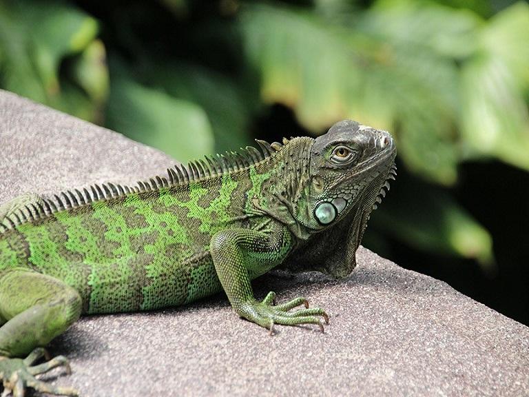 República Dominicana pide a la población que no compre iguana verde