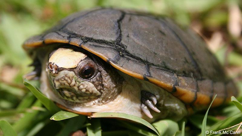 México anuncia el descubrimiento de nueva especie de tortuga