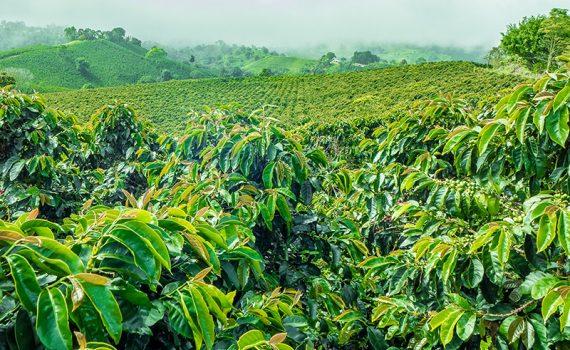 La mitad de los cafés silvestres podría desaparecer