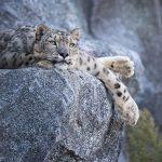 La amenaza que ronda los leopardos de las nieves