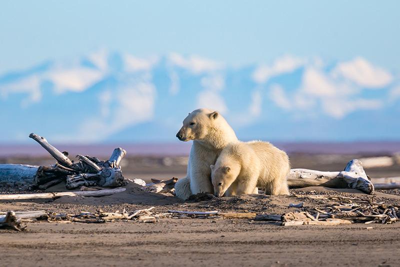 La búsqueda de alimentos de los osos polares