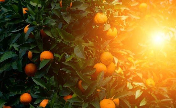 Restos de naranja reviven bosques en Costa Rica