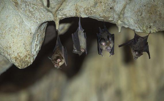 Turbinas eólicas de producción de energía amenazan murciélagos